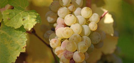 gouais blanc a uva quase extinta 570x270 - Gouais Blanc - A Uva quase extinta