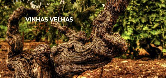 Barosa old vine 570x270 - Vinhas velhas produzem vinhos de melhor qualidade?